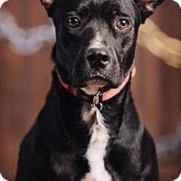 Adopt A Pet :: Pono - Portland, OR