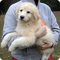 Adopt A Pet :: Dakota - big fluffy girl - Stamford, CT