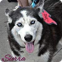 Adopt A Pet :: Sierra--Coming soon! - Carrollton, TX