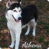Adopt A Pet :: Athena - Clearwater, FL
