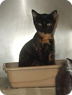 Domestic Shorthair Kitten for adoption in Newport, North Carolina - Abby Cadabby