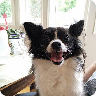 Pomeranian/Chihuahua Mix Dog for adoption in Edmonton, Alberta - Buffy