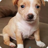Adopt A Pet :: Dave - Gilbert, AZ