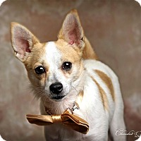 Jack Russell Terrier/Chihuahua Mix Puppy for adoption in Wymore, Nebraska - Monty