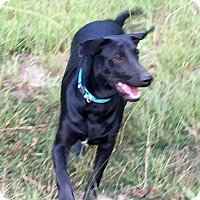 Labrador Retriever Mix Dog for adoption in Portsmouth, New Hampshire - PAYTON