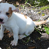 Treeing Walker Coonhound/Catahoula Leopard Dog Mix Puppy for adoption in Lake Pansoffkee, Florida - Joy