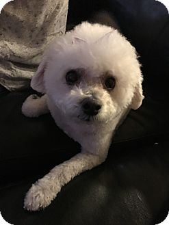 Bichon Frise Dog for adoption in North Las Vegas, Nevada - Coco