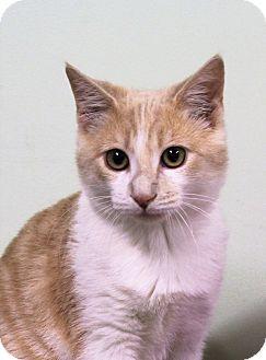 Domestic Shorthair Kitten for adoption in Murphysboro, Illinois - Dougal