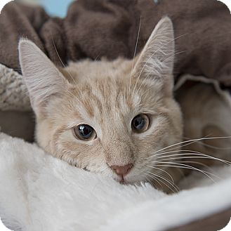 Domestic Shorthair Cat for adoption in Wilmington, Delaware - Ross