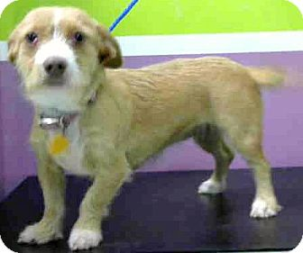 Dachshund/Terrier (Unknown Type, Small) Mix Dog for adoption in Boulder, Colorado - Carly
