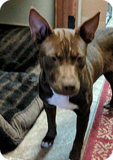 Pit Bull Terrier/Boston Terrier Mix Dog for adoption in Denver, Colorado - Mylo