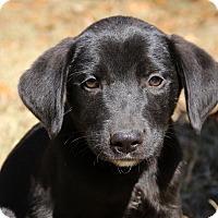 Adopt A Pet :: Lomax~meet me~ - Glastonbury, CT