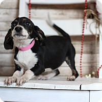 Adopt A Pet :: Layla - Waldorf, MD