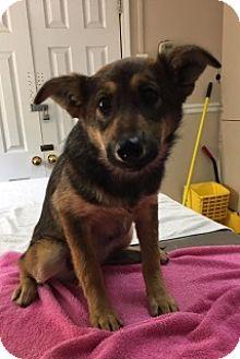 German Shepherd Dog/Husky Mix Puppy for adoption in Calhoun, Georgia - 6053/ Delilah