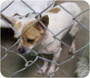 Chihuahua Dog for adoption in Phoenix, Arizona - Emerson - 4 lb cutie