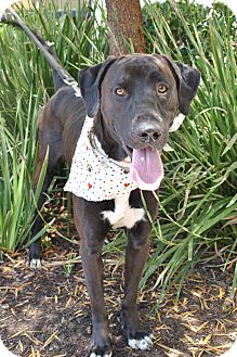 Labrador Retriever/Great Dane Mix Dog for adoption in Mission Viejo, California - Donny