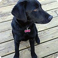 Adopt A Pet :: Laci - Waller, TX