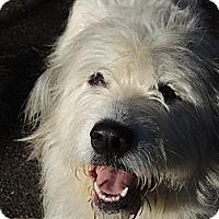 Adopt A Pet :: Shaina - Kittery, ME