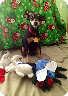 Miniature Pinscher Dog for adoption in Tustin, California - Roxy