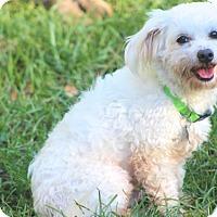 Adopt A Pet :: Cotton - Norwalk, CT