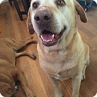 Labrador Retriever Dog for adoption in Pasadena, California - Cecil