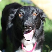 Adopt A Pet :: Velvet - Austin, TX