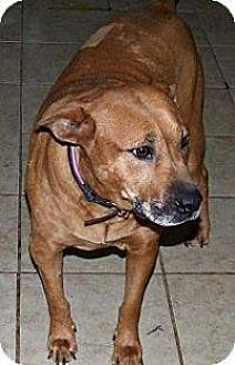 Pit Bull Terrier Mix Dog for adoption in ST LOUIS, Missouri - May