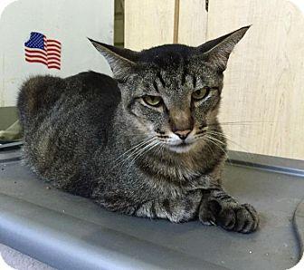 Hemingway/Polydactyl Cat for adoption in St. James City, Florida - Hubert