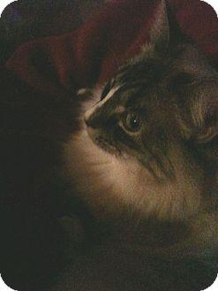 Siamese Cat for adoption in Dallas, Texas - Elle