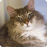 Domestic Longhair Cat for adoption in Grayslake, Illinois - Sheep