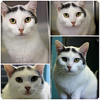 Adopt A Pet :: Anya - Forked River, NJ