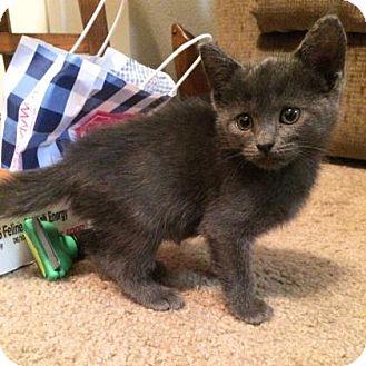 Domestic Shorthair Kitten for adoption in Austin, Texas - Everest