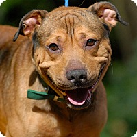 Adopt A Pet :: Buddy - Pottsville, PA