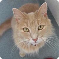 Domestic Mediumhair Cat for adoption in Cumberland, Maine - Ciara