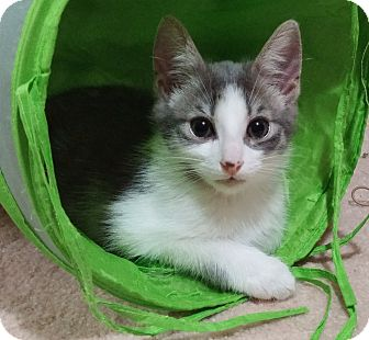 Domestic Shorthair Kitten for adoption in Cleveland, Ohio - Chico