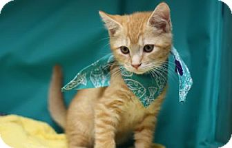 Domestic Shorthair Kitten for adoption in Voorhees, New Jersey - Felix