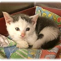 Adopt A Pet :: Pipsqueak - Herndon, VA