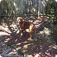 Adopt A Pet :: Tugger - Salem, OR