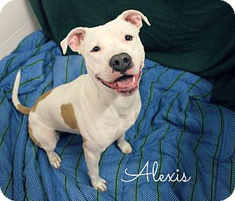 Pit Bull Terrier Mix Dog for adoption in Melbourne, Kentucky - Alexis
