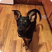 Adopt A Pet :: Darya - Westminster, CO