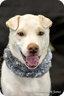 Shar Pei Mix Puppy for adoption in Little Rock, Arkansas - Marilyn Monroe