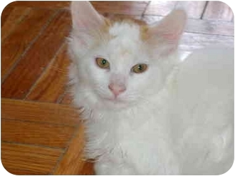 Domestic Mediumhair Kitten for adoption in Etobicoke, Ontario - Sunny