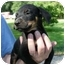 Photo 1 - Rottweiler/Boxer Mix Puppy for adoption in Kingwood, Texas - Rottnboxers