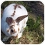 Photo 1 - Mini Rex for adoption in Santee, California - Spice