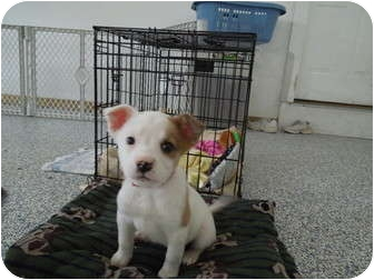 Australian Shepherd/Collie Mix Puppy for adoption in Washington, Pennsylvania - Lola
