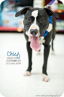 American Staffordshire Terrier/Retriever (Unknown Type) Mix Dog for adoption in Detroit, Michigan - Chief-Adopted!