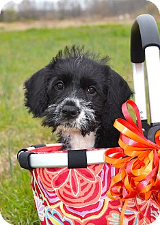 Terrier (Unknown Type, Medium)/Portuguese Water Dog Mix Puppy for adoption in Westport, Connecticut - *Twix - PENDING