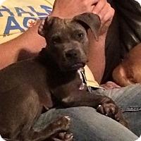 Adopt A Pet :: Starlet - Las Vegas, NV