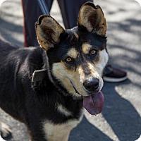 Adopt A Pet :: Nikita - Arlington, VA