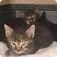 Adopt A Pet :: KITTEN - GREY - DeLand, FL